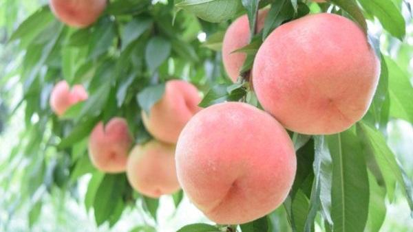 桃の驚くべき効果効能